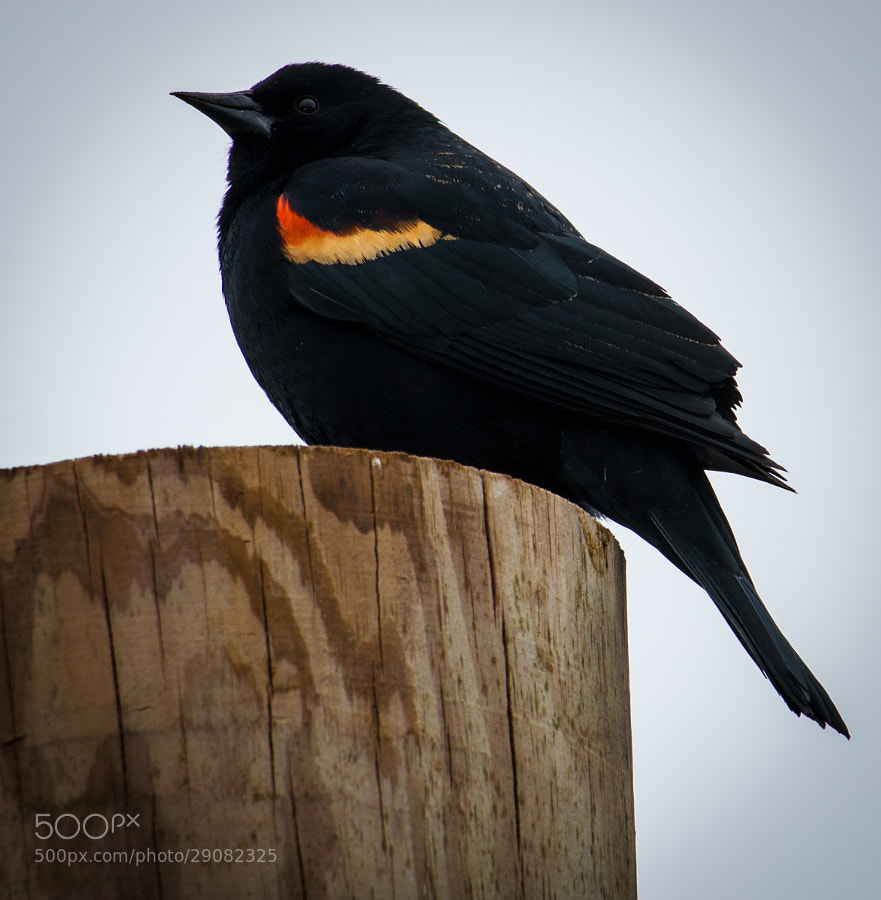 Love red wing blackbirds
