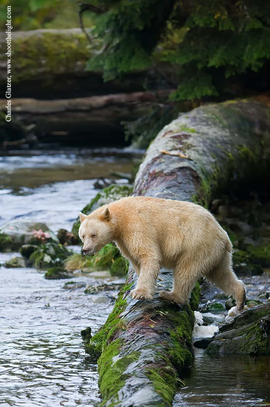Photograph Spirit bear by Charles Glatzer on 500px
