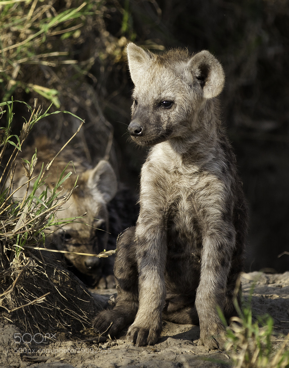 Photograph Hyena Cub by Jamie Hopf on 500px