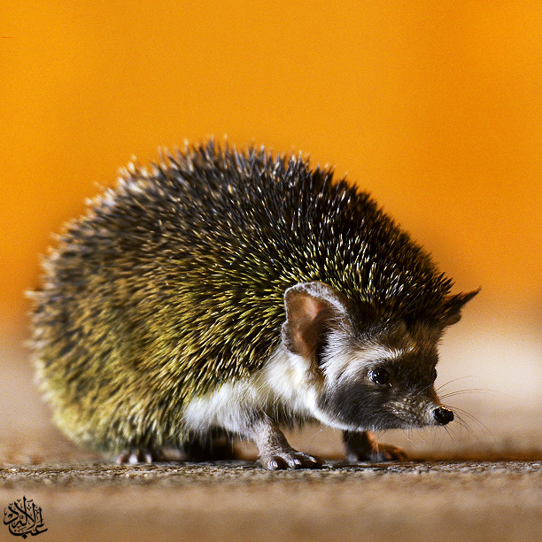 Photograph Hedgehog by Abduleelah Al-manea on 500px