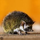Hedgehog by Abduleelah Al-manea
