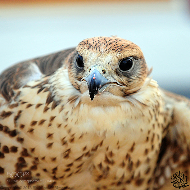 Photograph Falcon by Abduleelah Al-manea on 500px