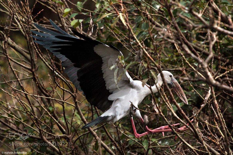 Photograph Asian Openbill Stork by Mahesh Kondwilkar on 500px