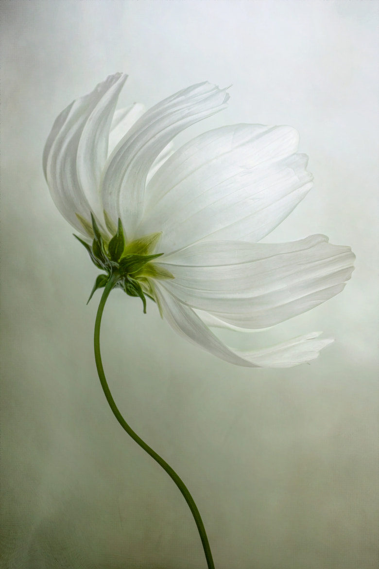 Photograph Cosmos by Mandy Disher on 500px