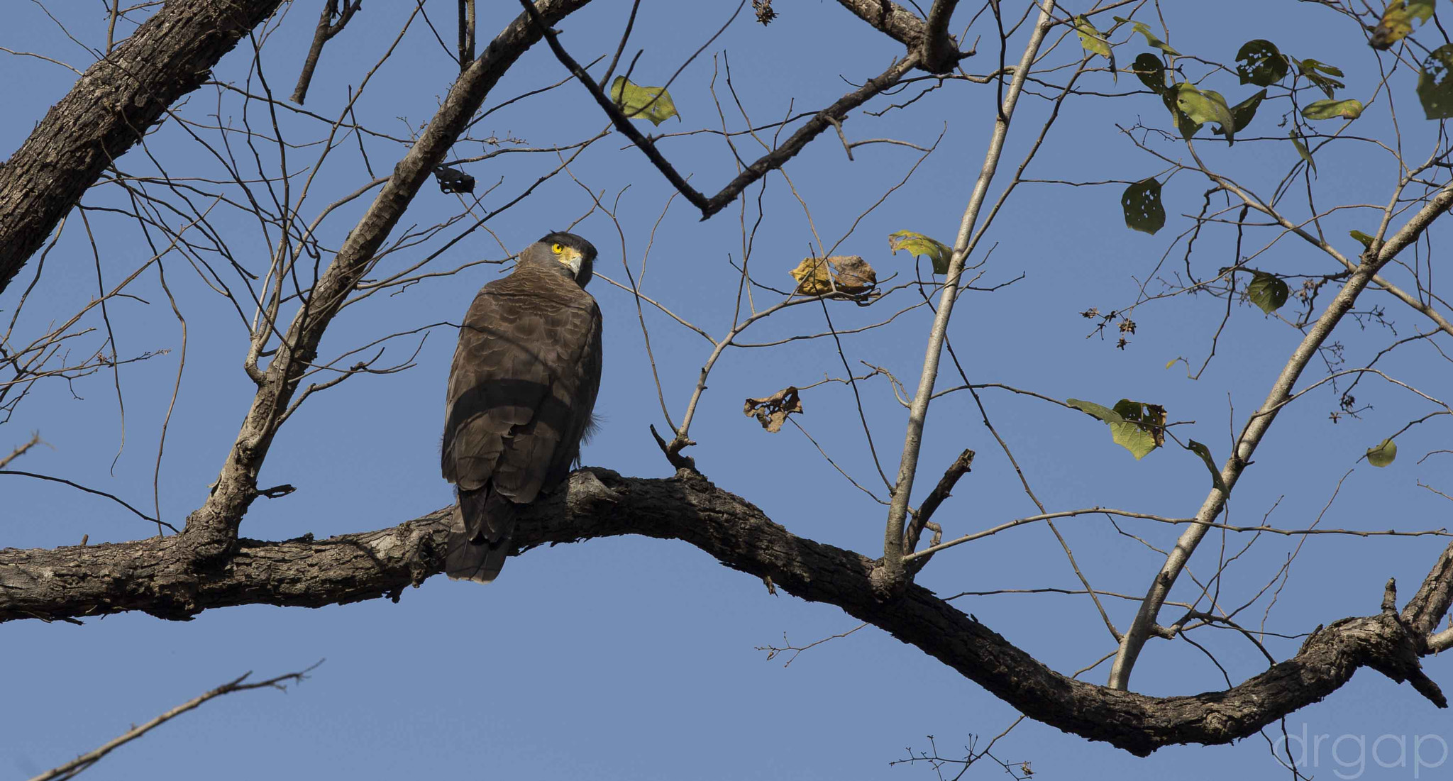 Photograph Serpent Crested Eagle by Gunjan  Puri on 500px