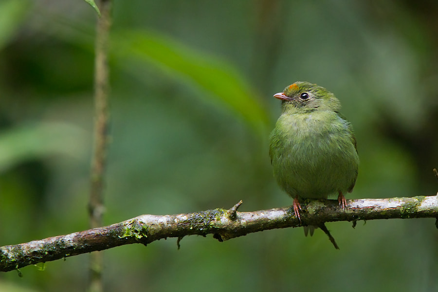 Photograph Swallow-tailed Manakin by André Luiz Silva on 500px