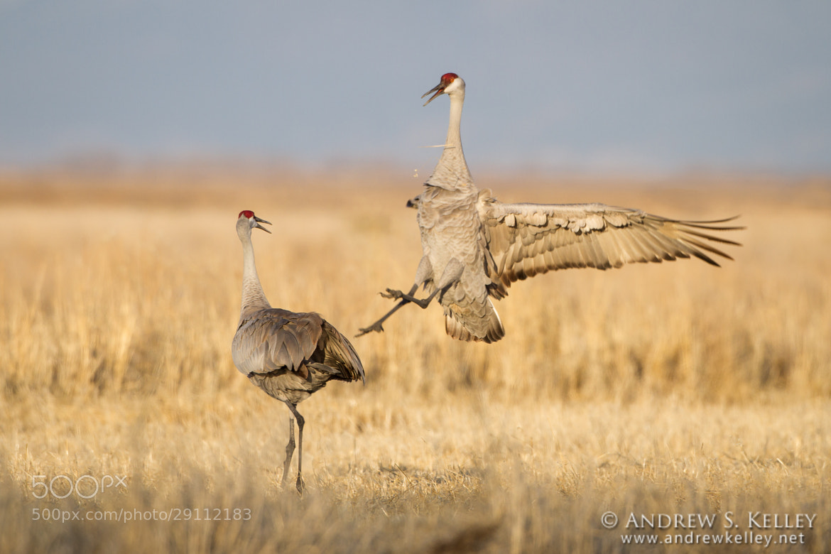 Photograph Crane Dance I by Andrew Kelley on 500px