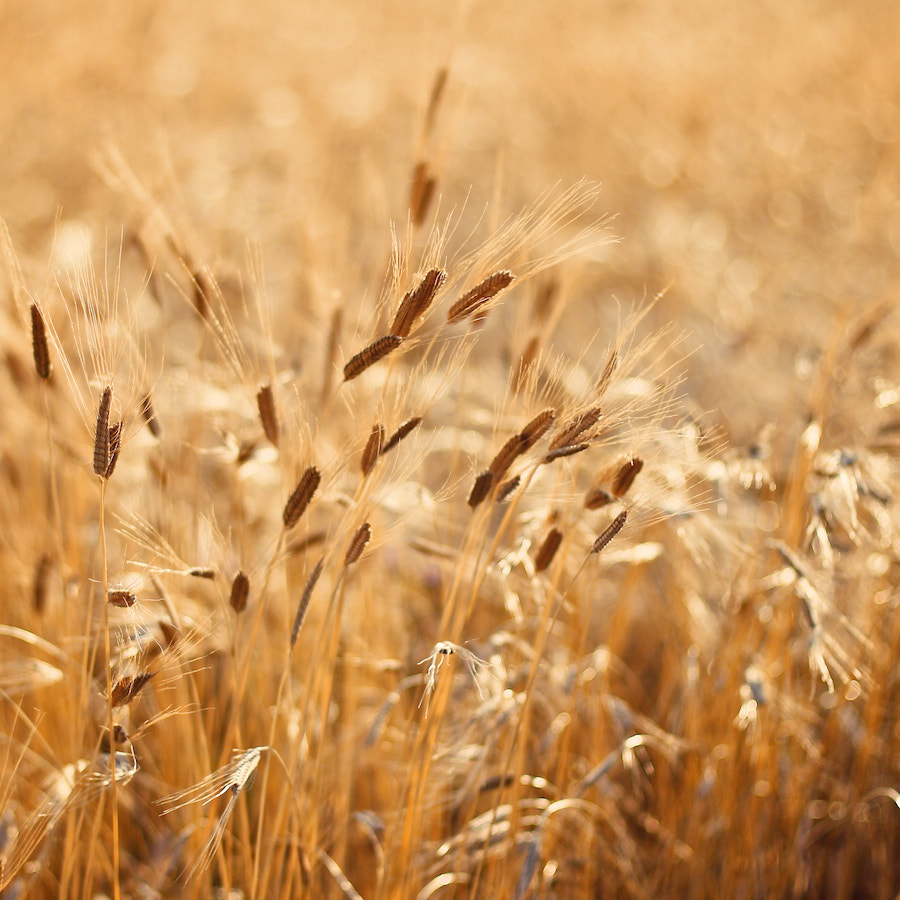Photograph Barley by light addict on 500px