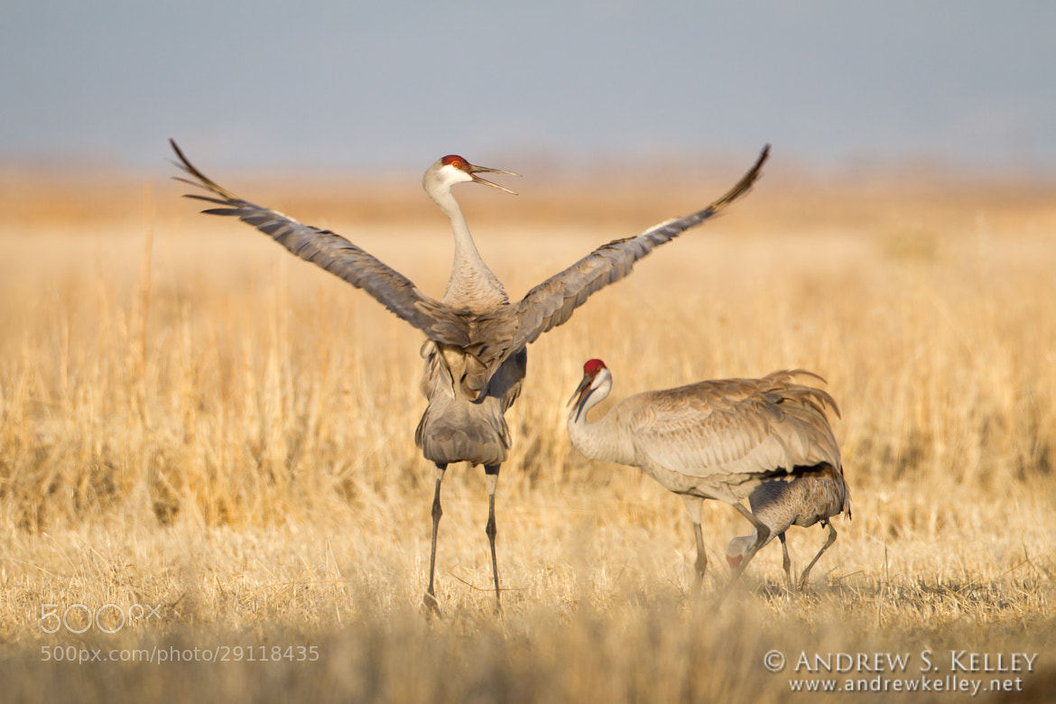Photograph Sandhill Dance II by Andrew Kelley on 500px