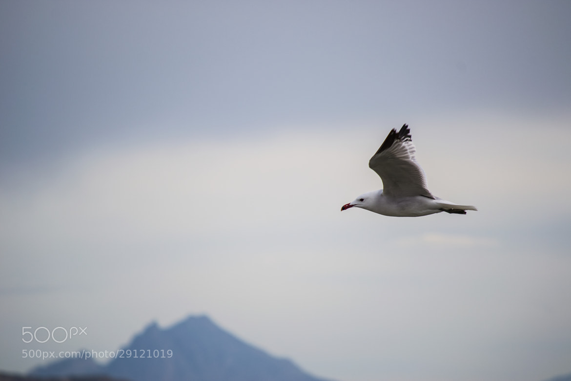 Photograph Gaviota by Felipe Zárate Simón on 500px