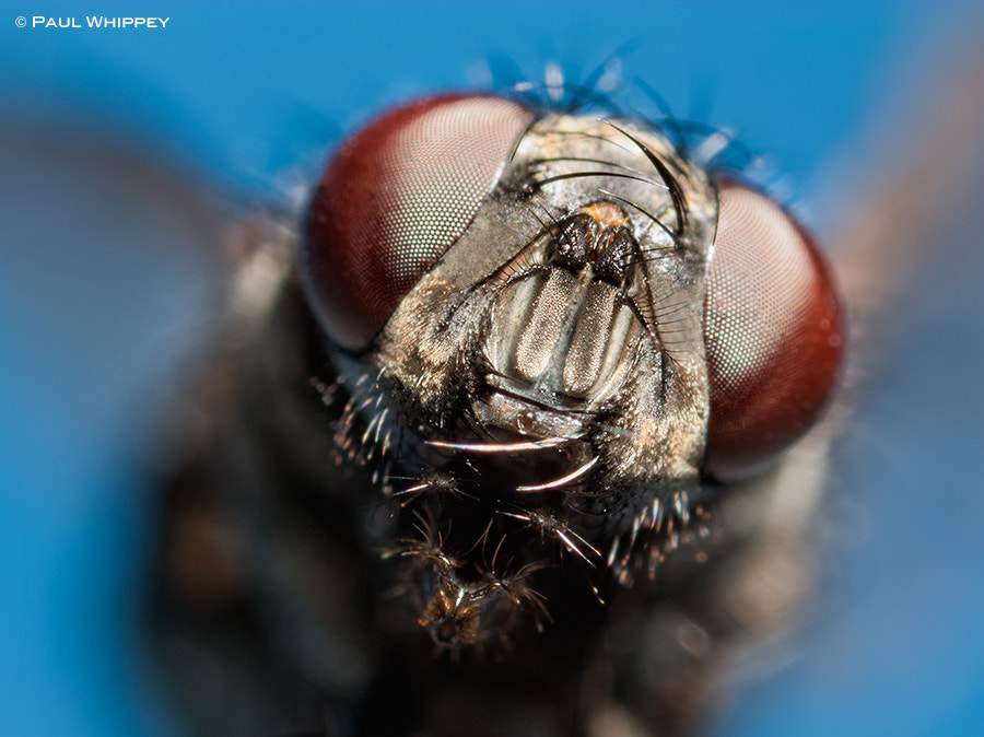 Photograph One ugly fly by Paul Whippey on 500px