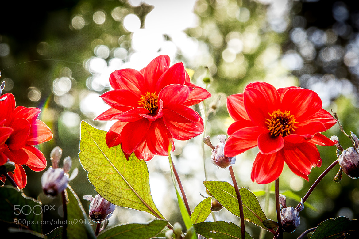 Photograph Red flowers by Vanius Roberto Bittencourt on 500px