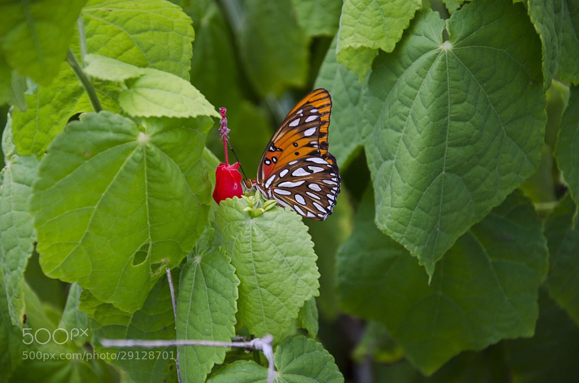 Photograph Monarch Butterfly by Devin Cross on 500px