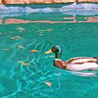 A Mallard Duck enjoying the Spring Break, Caifornia weather on a fantastic day