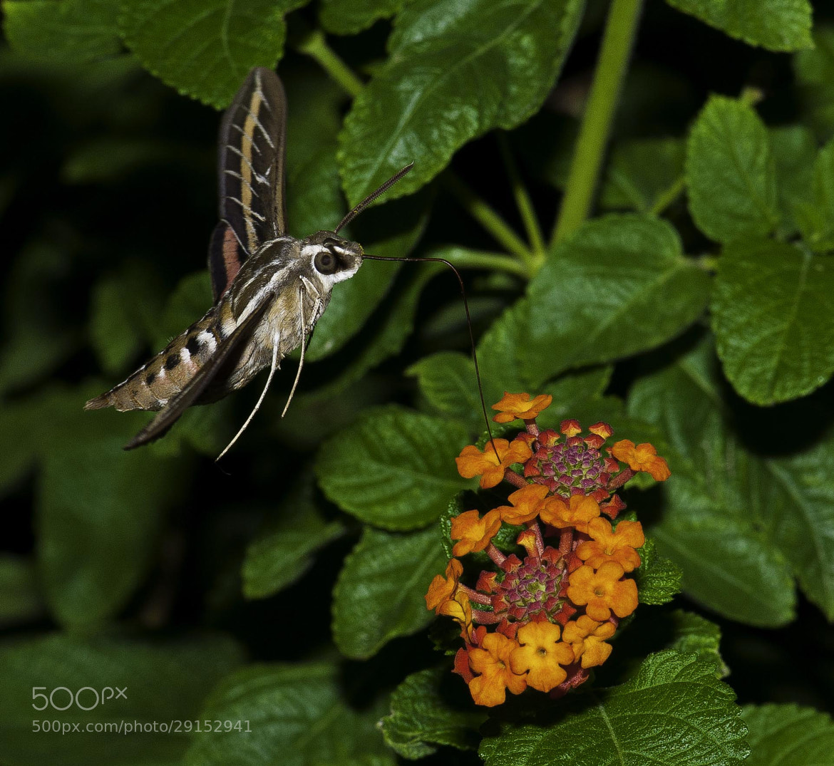Photograph Hummingbird Moth by Ray Downs on 500px