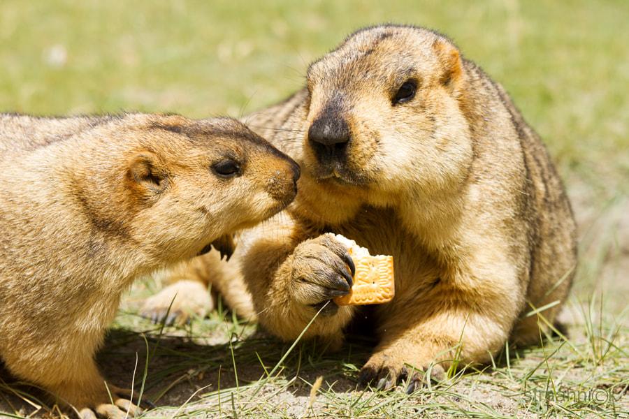 Мармоты из провинции Ладакх (Гималаи, Индия). Marmots from the Ladakh (India)
