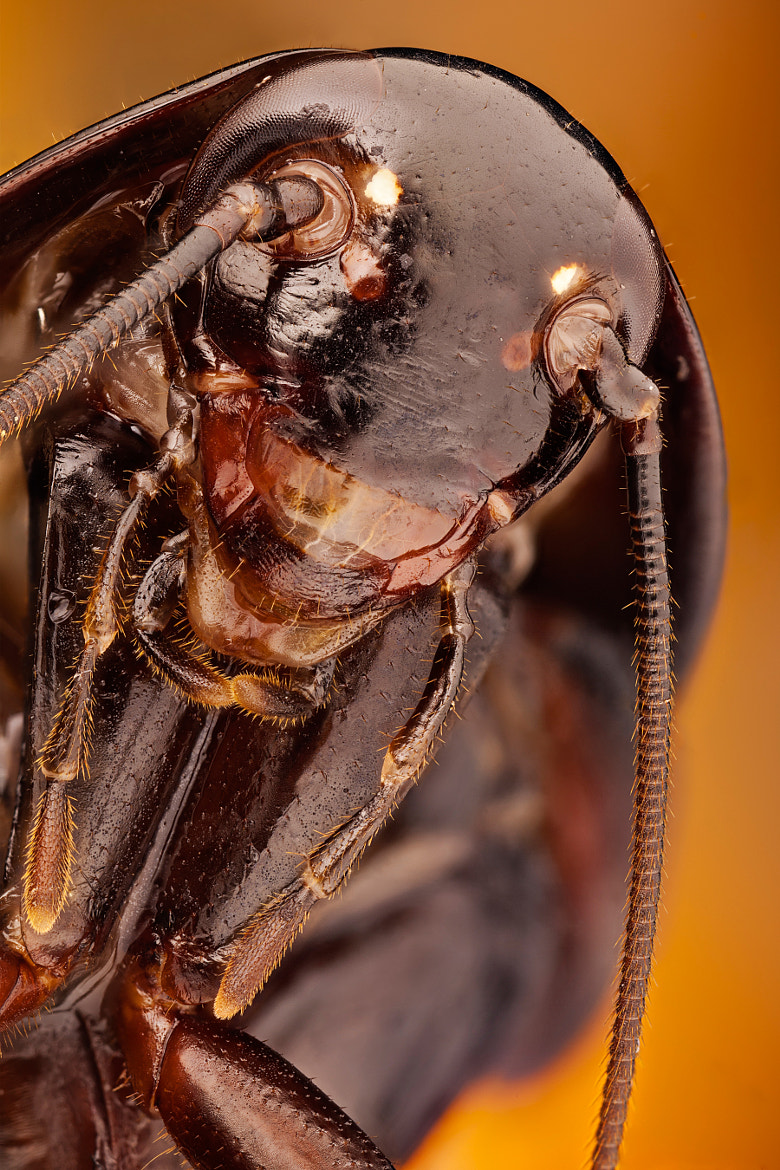 Photograph Cockroach portrait by Javier Torrent on 500px