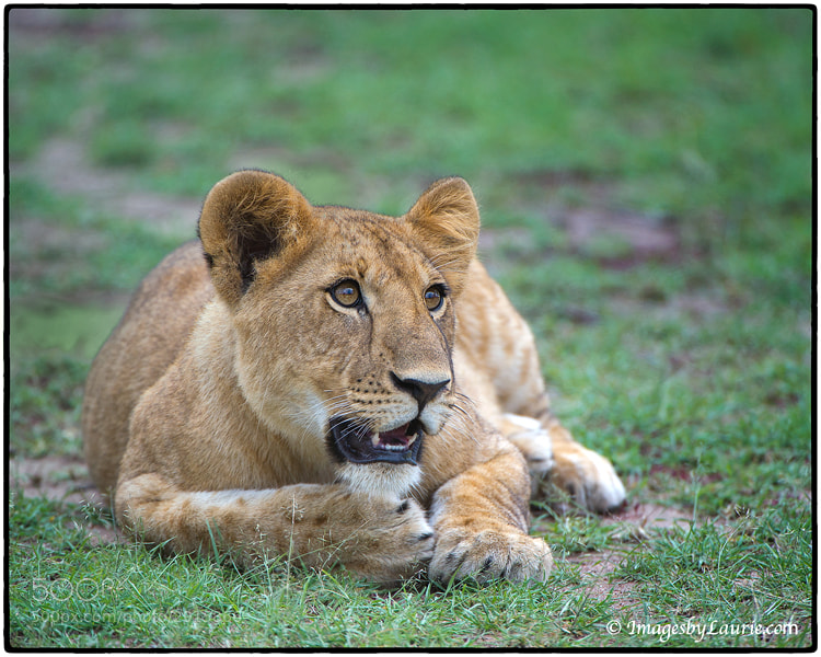Young African Lion (Maasai Mara, Kenya)