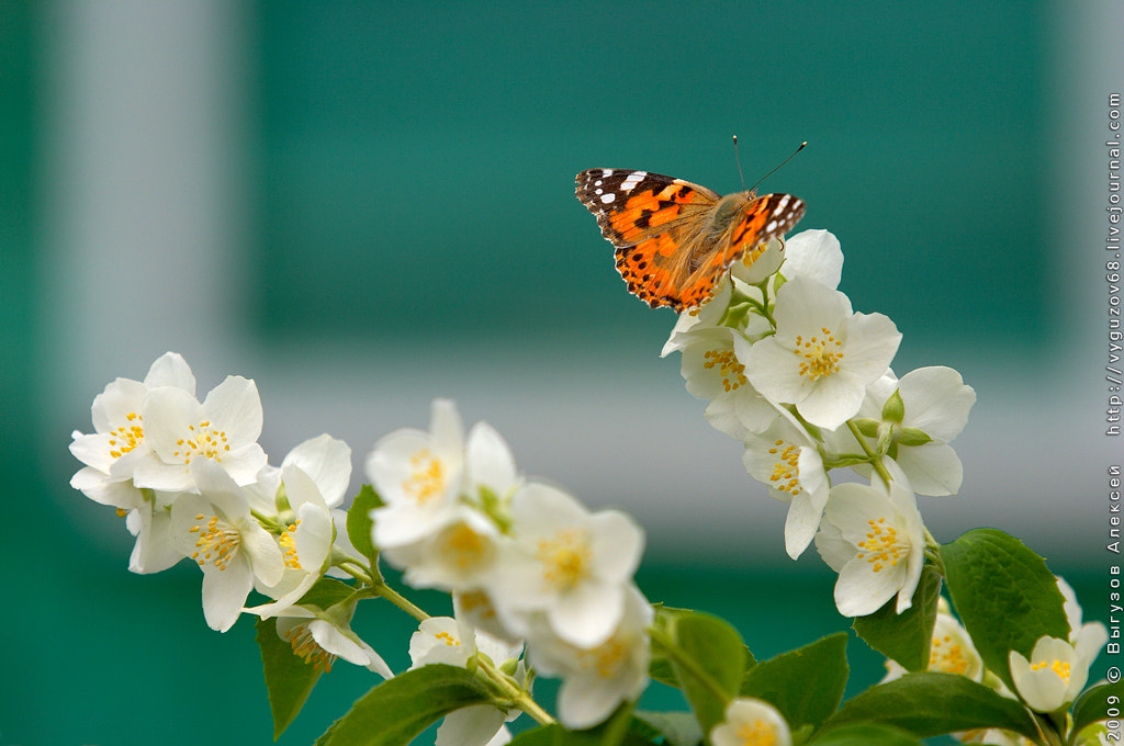 Photograph Jasmine and the butterfly by Alexey Vyguzov on 500px