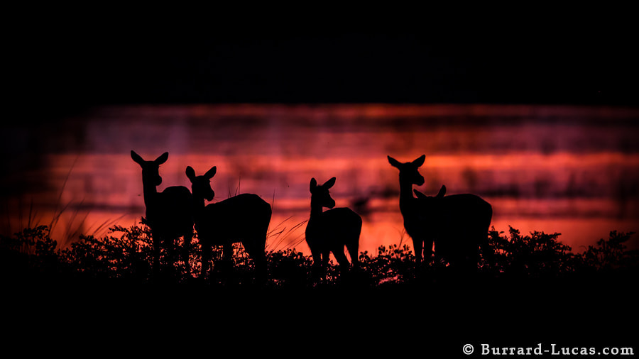 Photograph Puku at Dusk by Will Burrard-Lucas on 500px