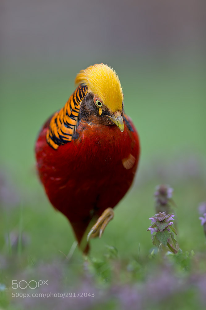 Photograph Golden Pheasant by Stefano Ronchi on 500px