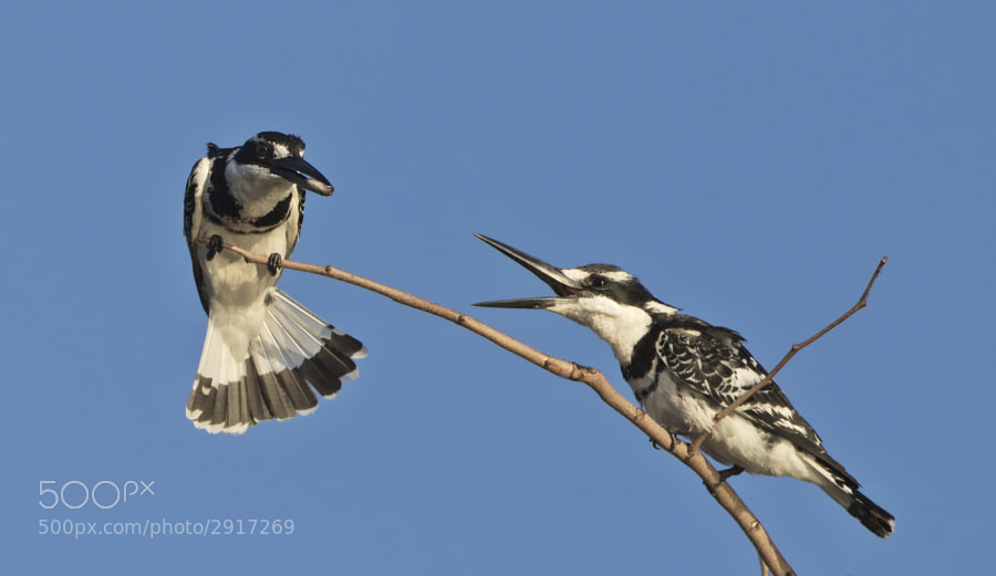 Two Pied Kingfishers on a drowned tree in Lake Kariba, Matusadona National Park, Zimbabwe