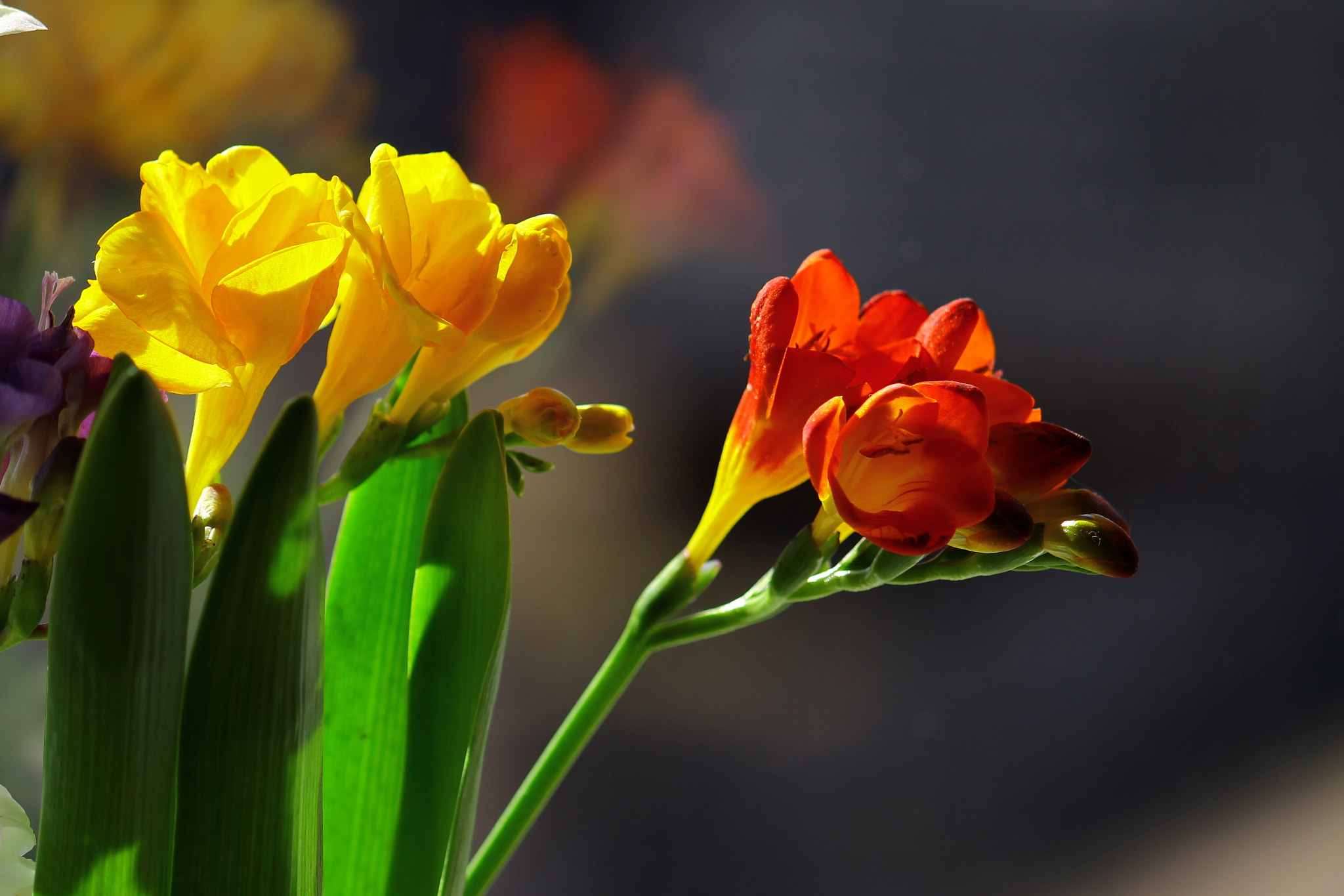 Photograph Freesia by  Photo on 500px