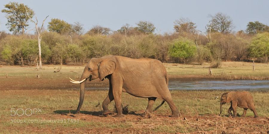 Mother and calf stroll along the shore of Rhino Island, Matusadona, National Park, Zimbabwe