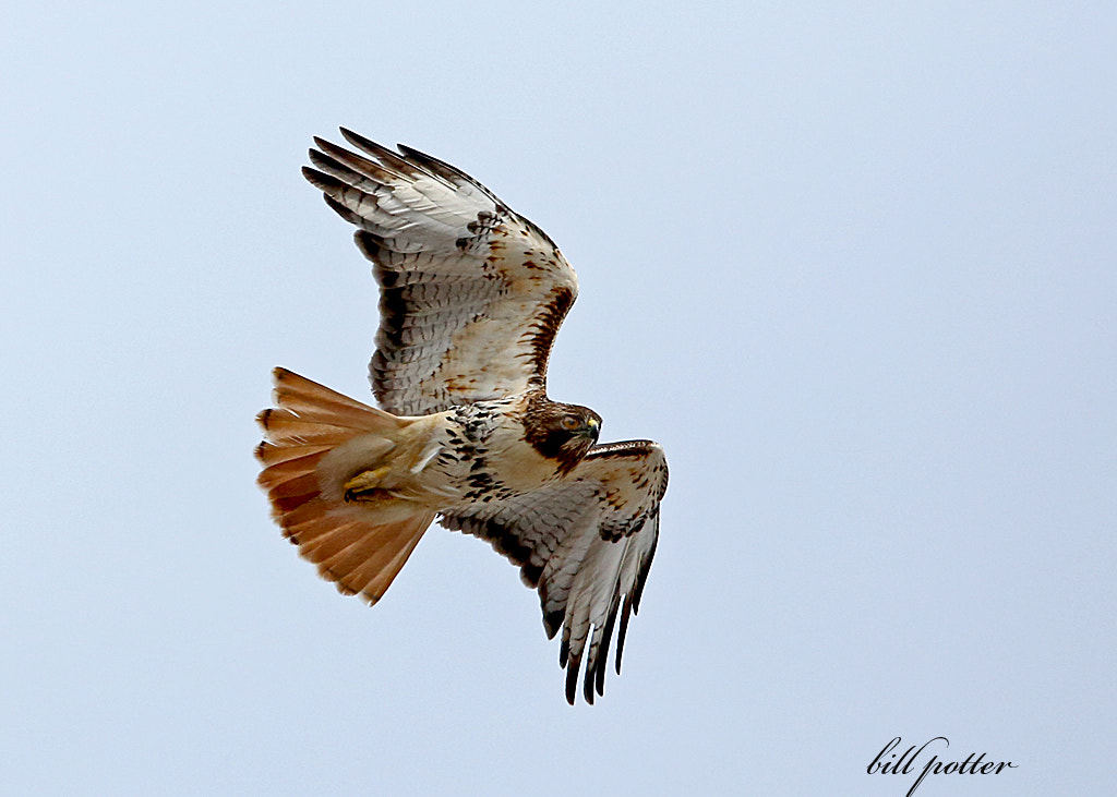 Photograph Red-tail Hawk by William Potter on 500px