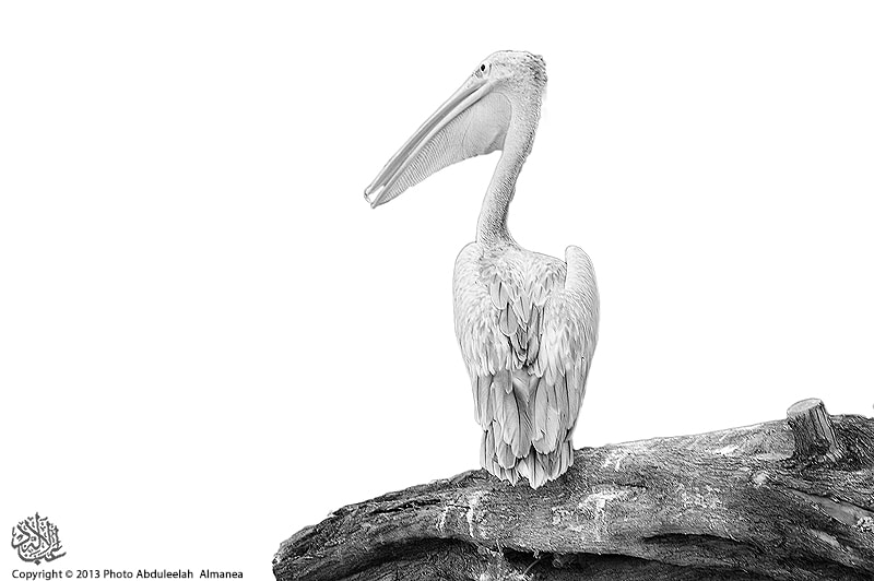 Photograph Pelican II by Abduleelah Al-manea on 500px