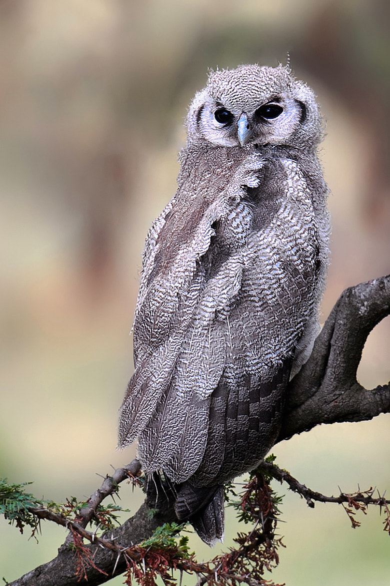 Photograph Verreaux's Eagle-Owl by Marc MOL on 500px
