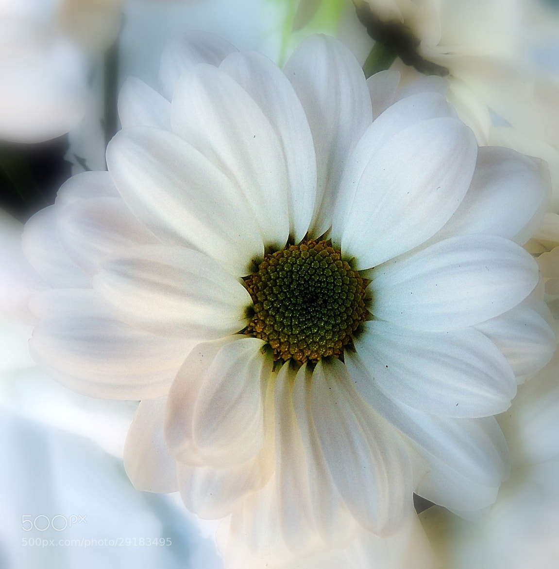 Photograph Pure and White by Ravi S R on 500px