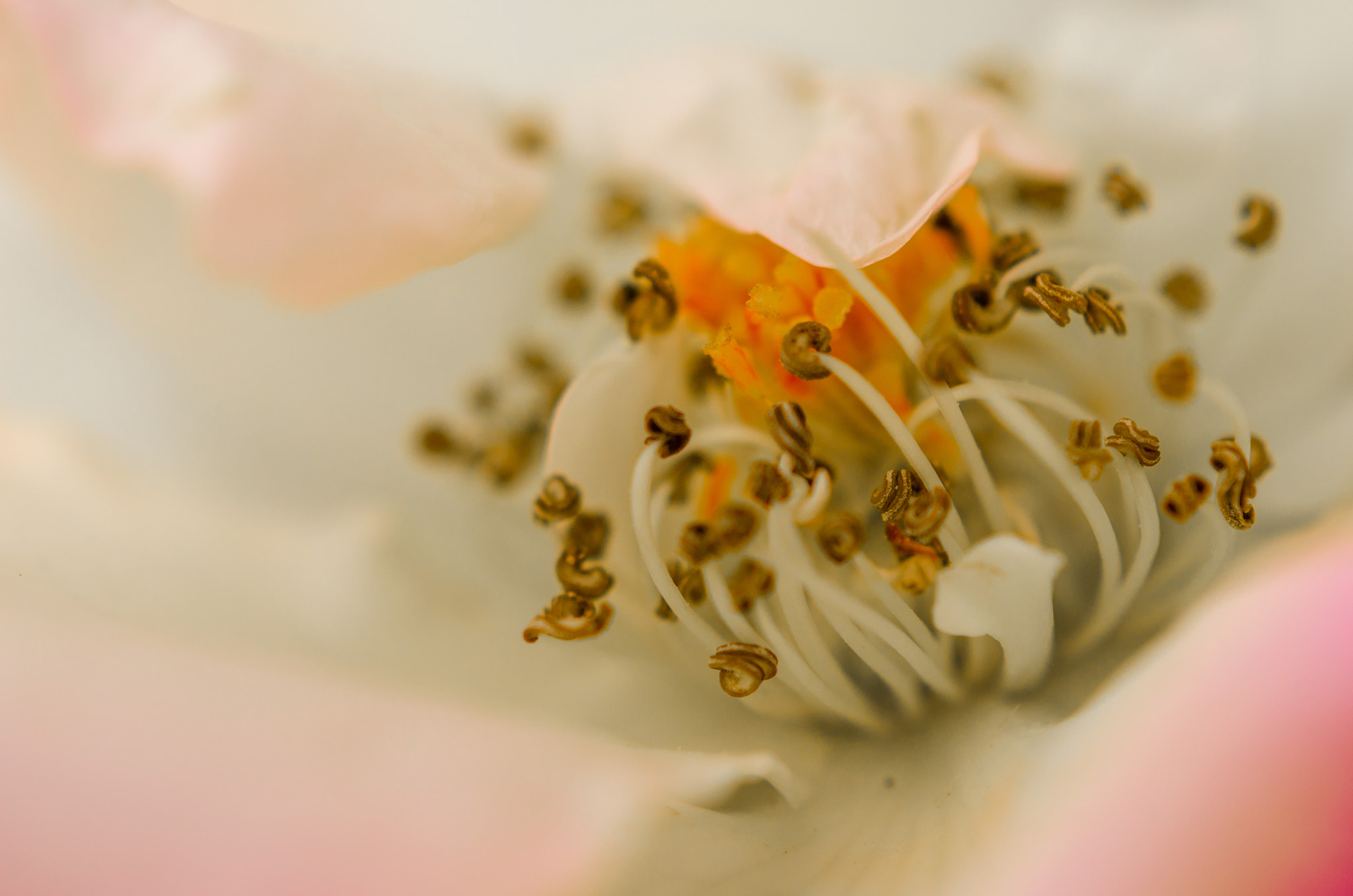 Photograph Rose: Inside by Bipphy Kath on 500px