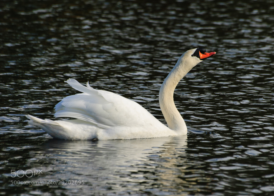 As the Swan would swim back and forth, at times it would swim away, but then turn and swim towards me.  I think it wanted to make certain I took it's photo in good light.  Who said we were the only vain out there.