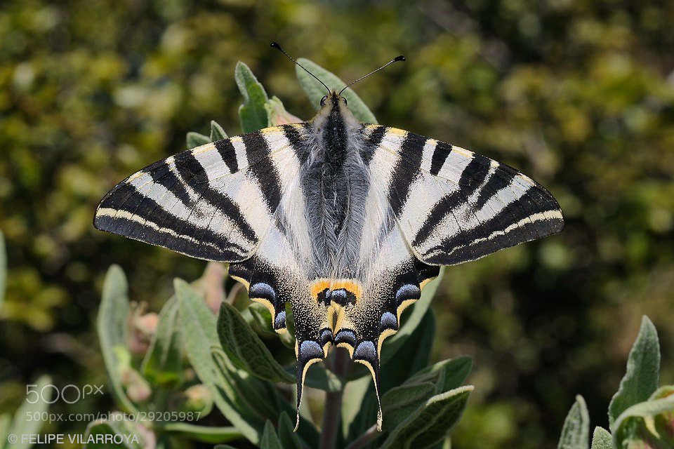 Photograph Iphiclides podalirius by Felipe  vilarroya on 500px