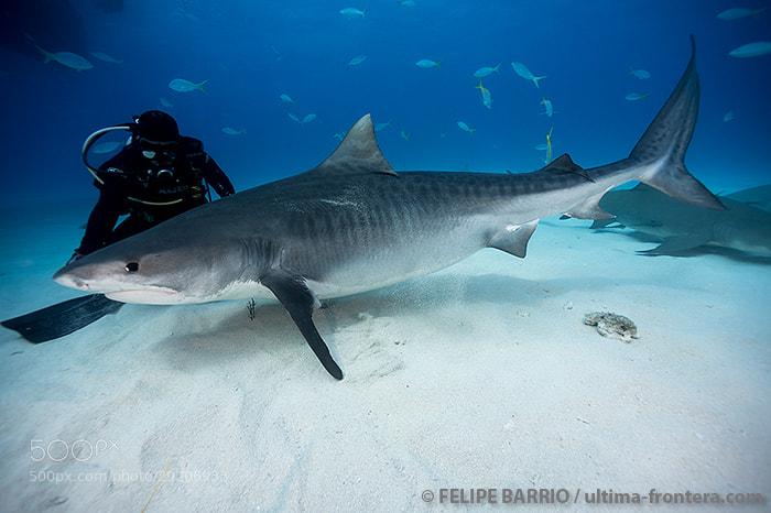 Photograph Tiger shark by Felipe Barrio on 500px