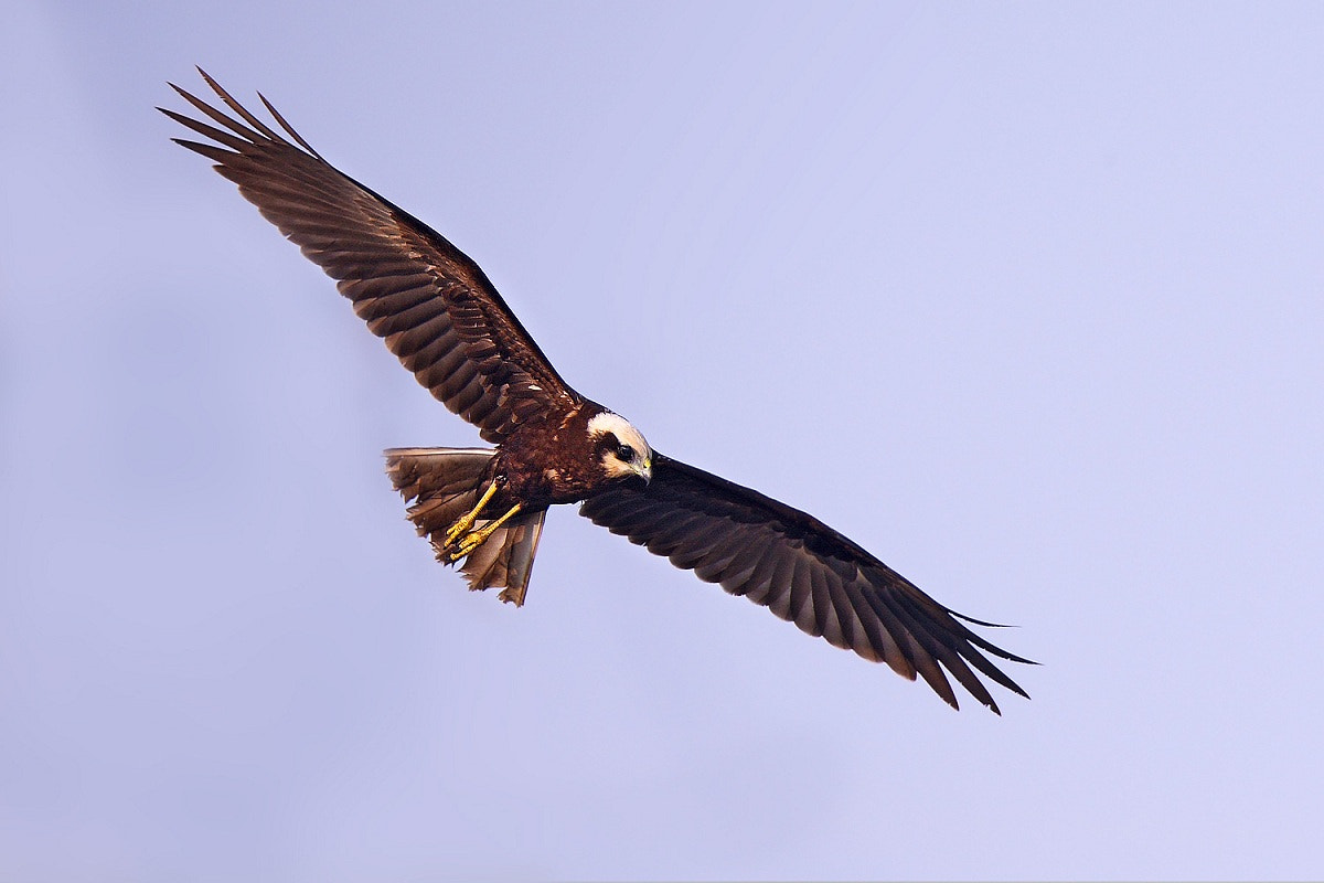 Photograph Western Marsh Harrier,Falco Di Palude by Paolo Guidetti on 500px