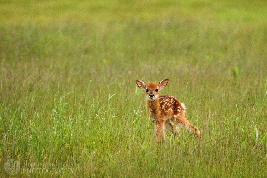 Photograph The Littlest Fawn by Theresa Sullivan on 500px