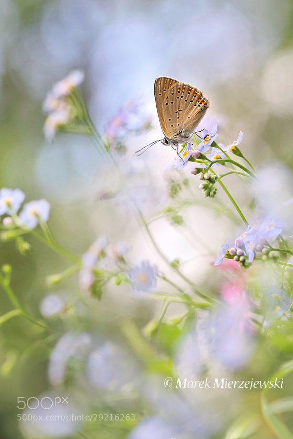 Photograph Forget-me-nots with butterfly by Marek Mierzejewski www.butterfly-photos.org on 500px