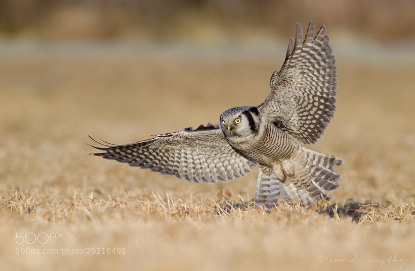 Photograph Hawk owl hunting by Trond  Westby on 500px