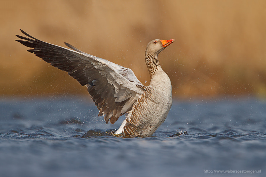 Photograph Greylag Goose by Walter Soestbergen on 500px