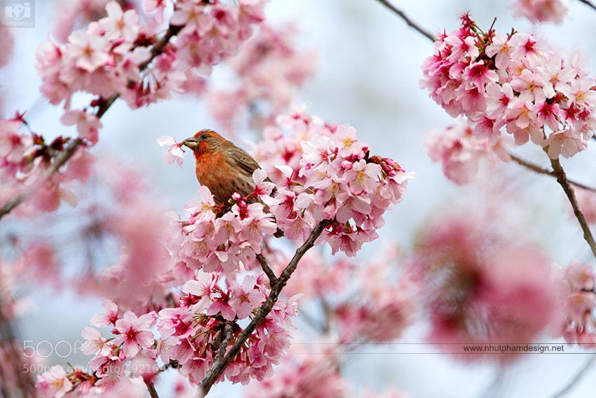 Photograph Bird and Sakura! by Nhut Pham on 500px