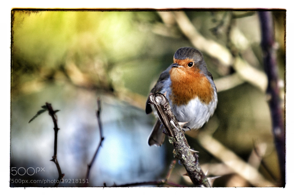 Photograph Robin by Shaun Brown on 500px