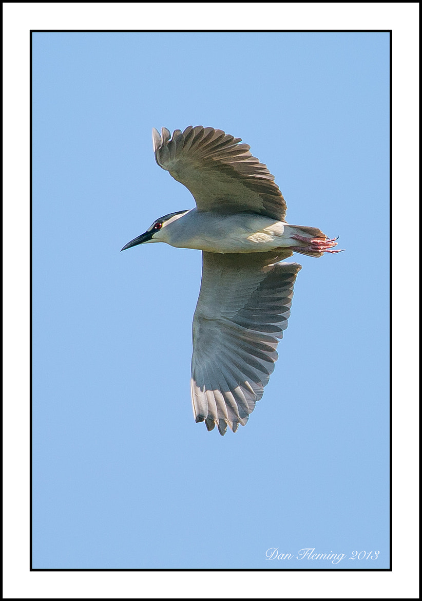 Photograph Black-crowned Night Heron by Dan Fleming on 500px