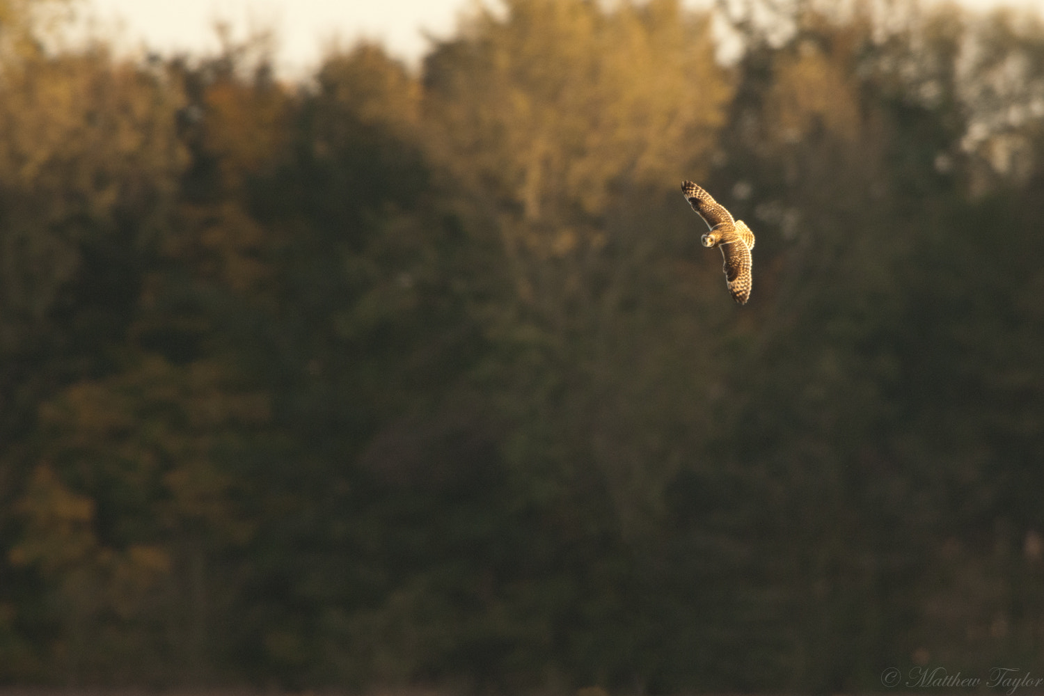 Photograph Short Eared Owl by M Taylor on 500px