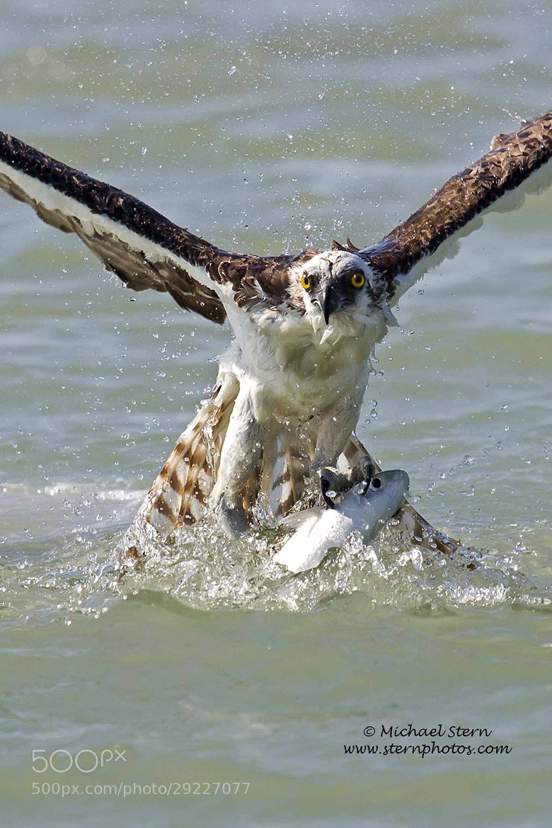 Photograph Osprey with Mullet by Michael Stern on 500px