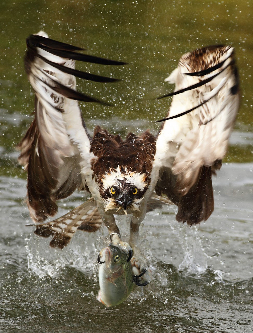 Photograph Osprey - Aguila Pescadora - Pandion Haliaetus by Txema Garcia on 500px