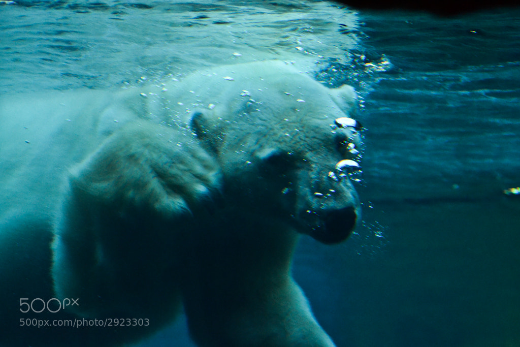 Photograph polar bear 2 by manlio marcheggiani on 500px