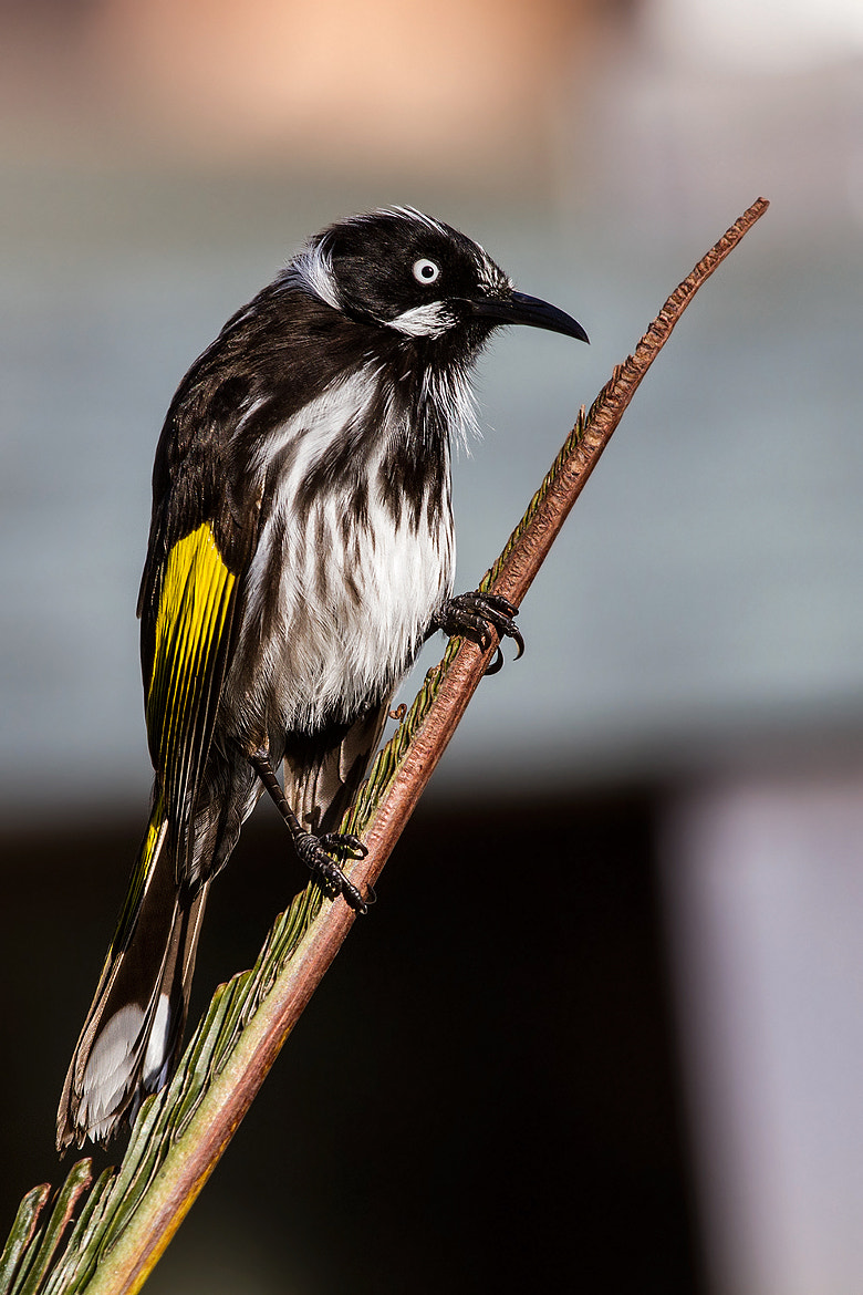 Photograph New Holland Honeyeater,Kangaroo Island by Paolo Guidetti on 500px