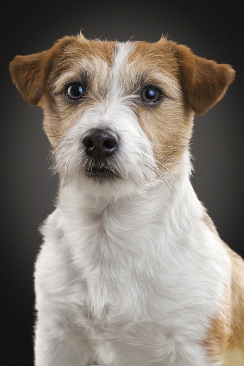 Photograph Jack Russel Terrier by Sven Engel on 500px